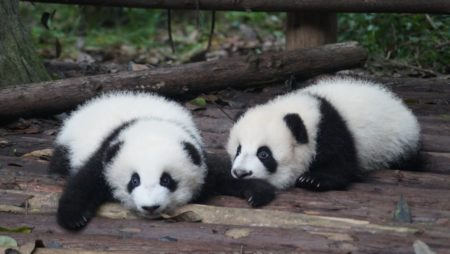 Stare at the Huggable Giant Pandas in Qinling Mountains